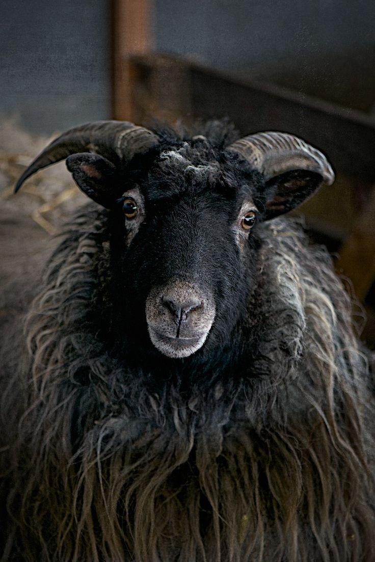 Sheep by lebenslustiger