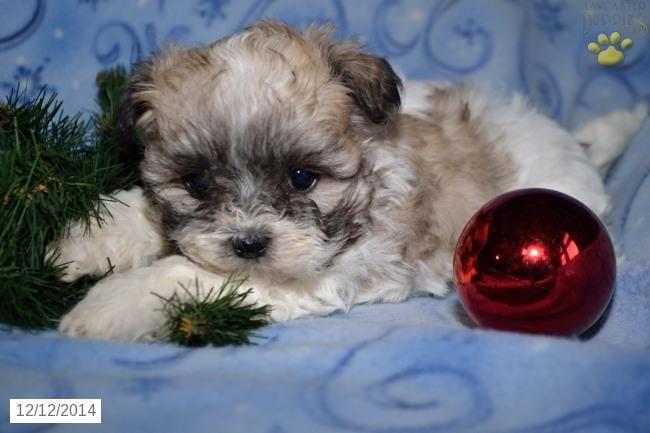 Shichon Puppy for Sale in Ohio
