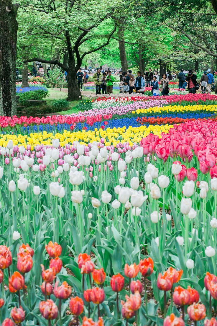Best 25 tulip season ideas on pinterest tulip white for What season are tulips