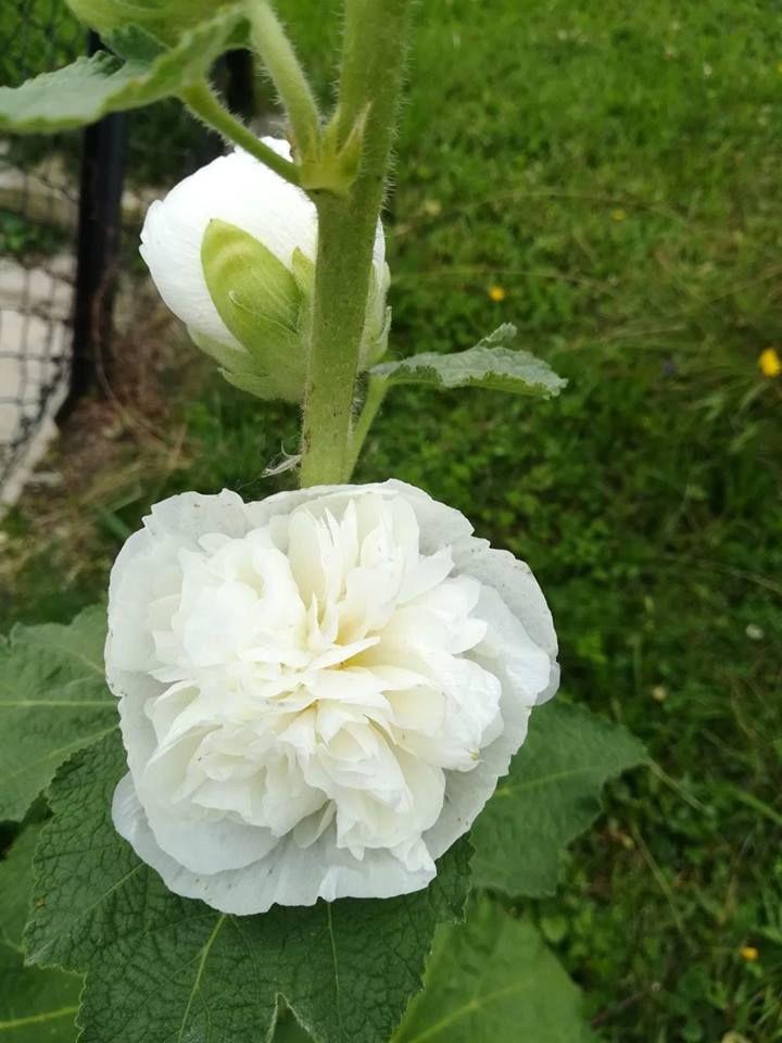 MALWA- Biała dama w moim ogrodzie