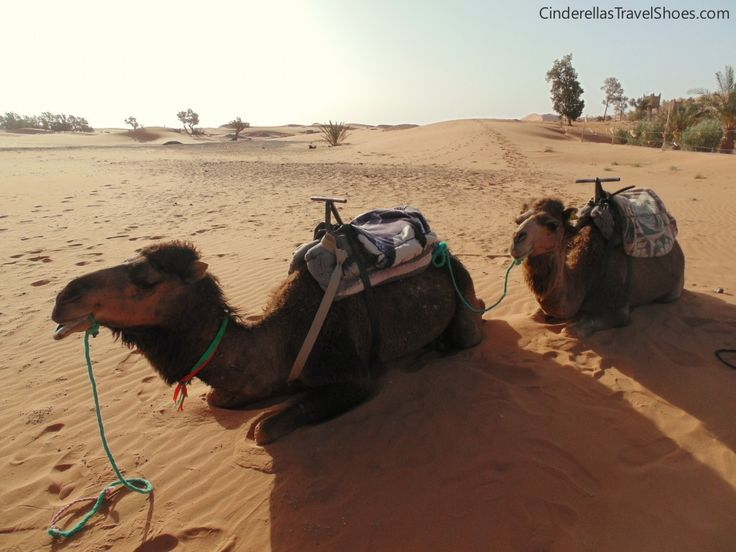Our Camels in Sahara Desert in Morocco