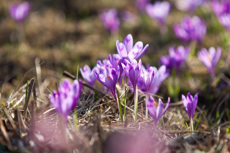 Blooming violet crocuses