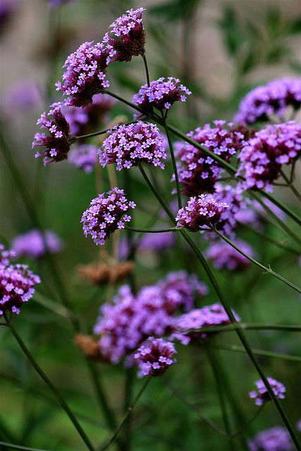 Verbena Plant/ ATTRACTS: Hummingbirds. They are very hardy and even grow in ditches and pastures in MS.
