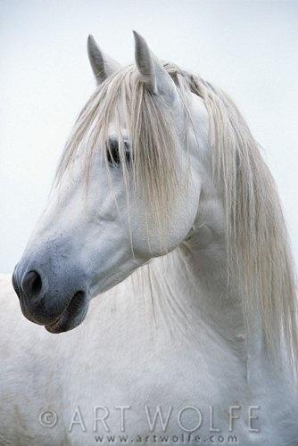 Camargue horses  Réserve naturelle de Camargue Camargue Saintes-Maries-de-la-Mer, PACA