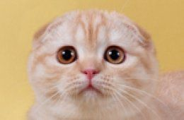 Munchkin cat Breeders Montreal : Munchkin cats