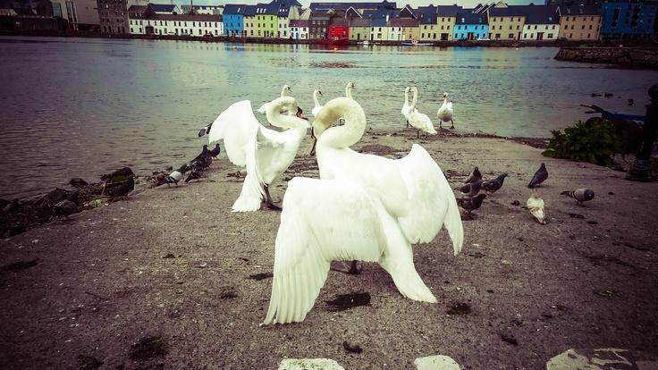 Galway Swans - Ireland, May 2012 by Denis CiumbargiGalway Swan, Denis Ciumbargi