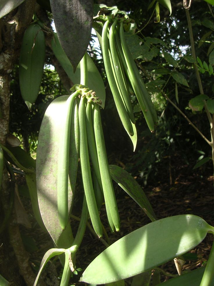 How to grow and pollinate vanilla!  Vanilla Orchid Bean