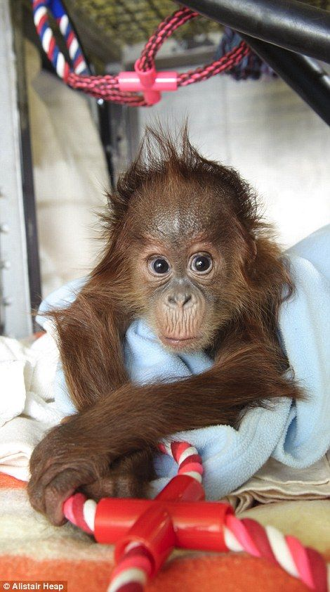 Bulu Mata, whose mother Jambi died soon after his birth, chewing on a teething ring to help soothe sore gums. He's hoping to find a new orangutan mother at Monkey World.