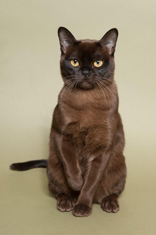 Bruin Burmees kitten