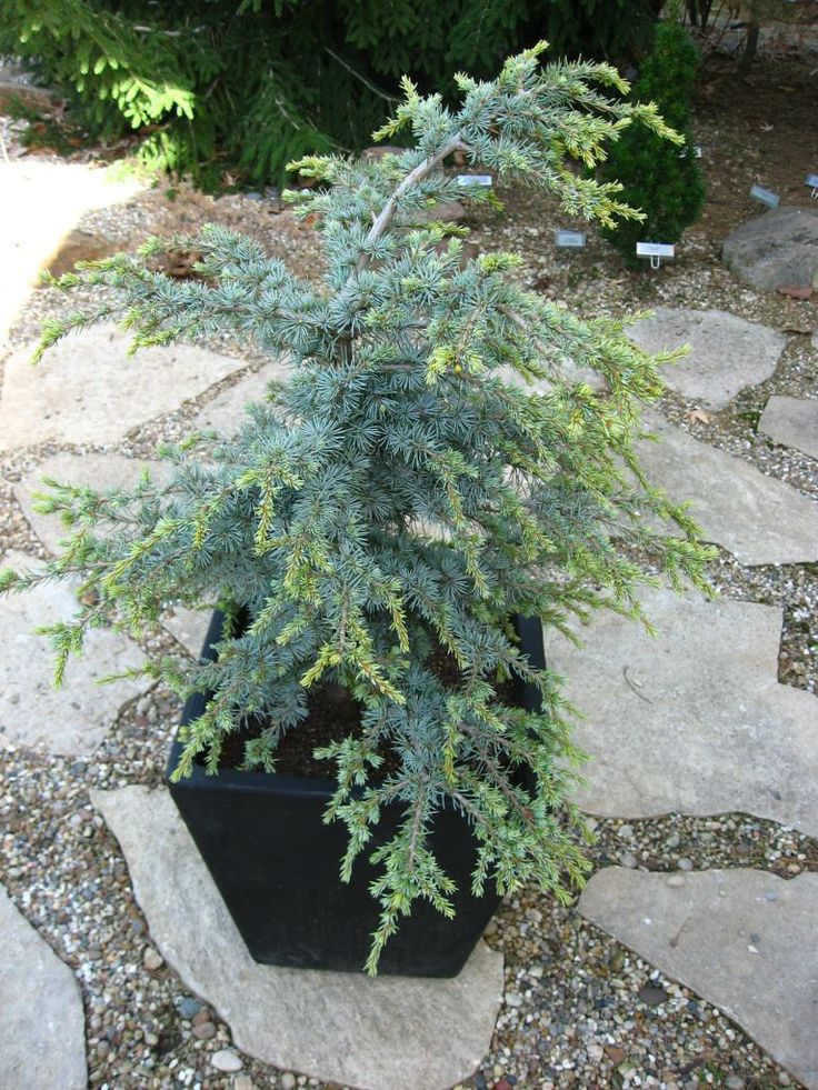 Cedrus atlantica 'Sapphire Nymph'. A dwarf, blue variety of Atlantic Cedar. Grows in a layered flat look in a small shrub form. New folia...