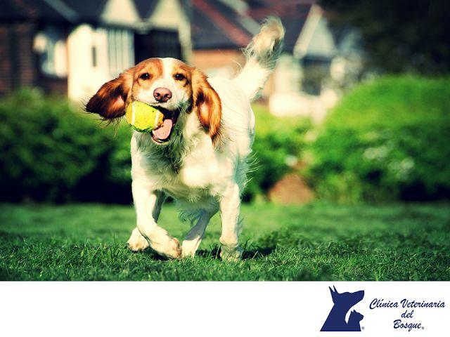 CLÍNICA VETERINARIA DEL BOSQUE. Los perros necesitan jugar, eso está claro. Son mascotas activos y enérgicos que al menos durante un rato cada día necesitan descargar adrenalina corriendo, jugando y relacionándose con otros perros. En Clínica Veterinaria del Bosque creemos que es de vital importancia darle la atención necesaria a tu mascota, contamos con expertos para brindarle el cuidado que necesita. #cuidadodemascotas