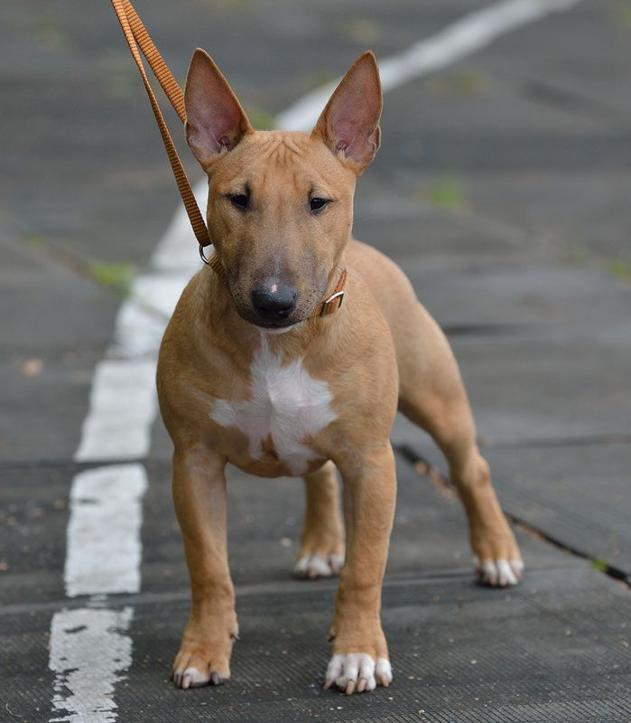 Miniature Bull Terrier puppy