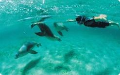 アシカと遊泳 南オーストラリア州
