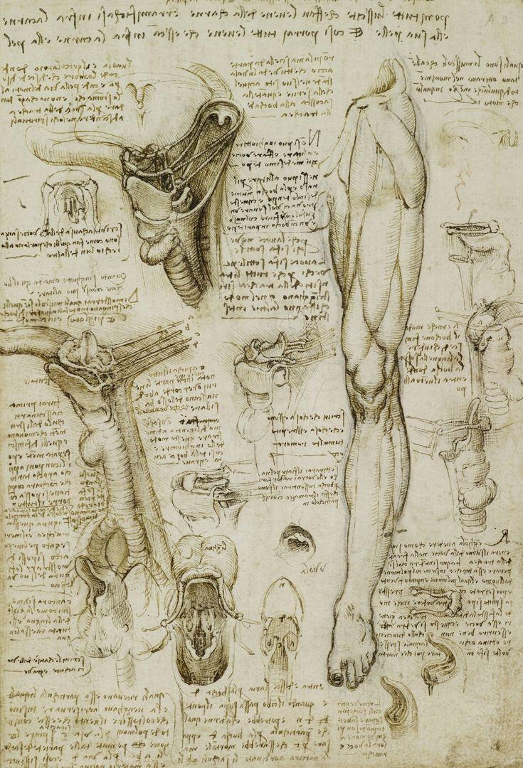 "LÁMINA ""The Throat and the Muscles of the Leg"" Leonardo da Vinci"