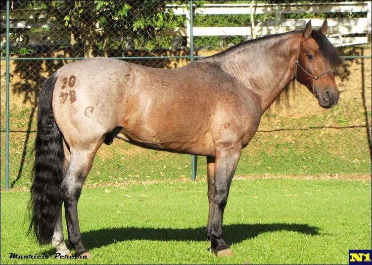 Crioulo - stallion Entroncado Tupambaé