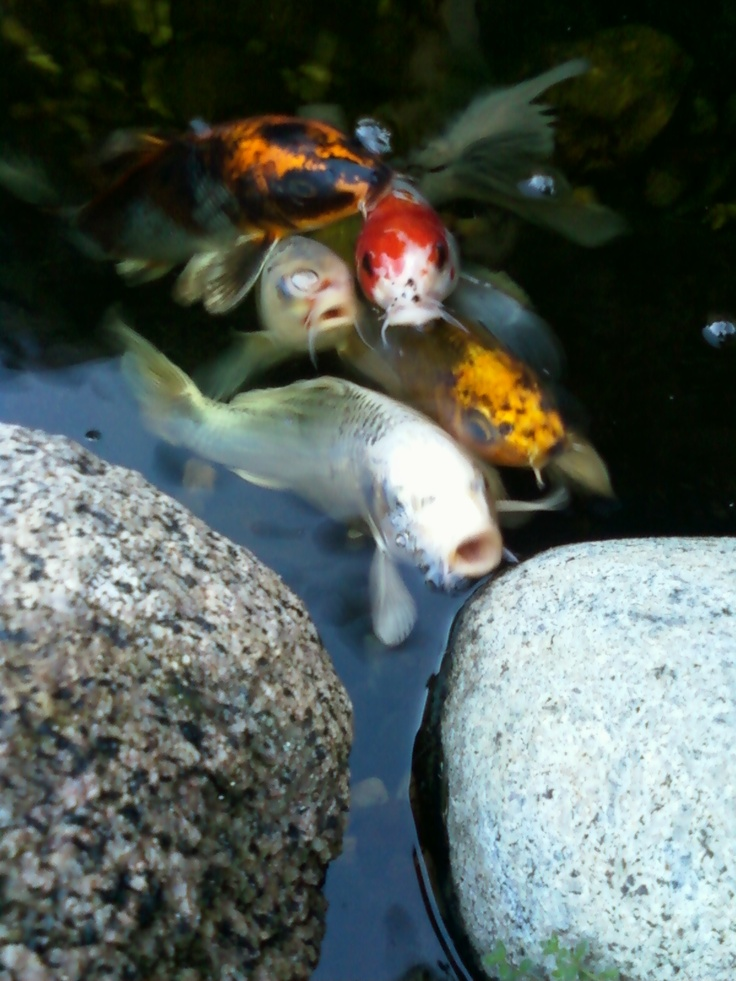 17 best images about koi and ponds on pinterest japanese for Fish pond stuff