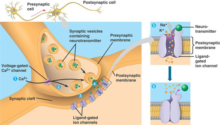 Gives a close-up view of a synapse, demonstrating the role of neurotransmitters and how they are transferred to the postsynaptic membrane.