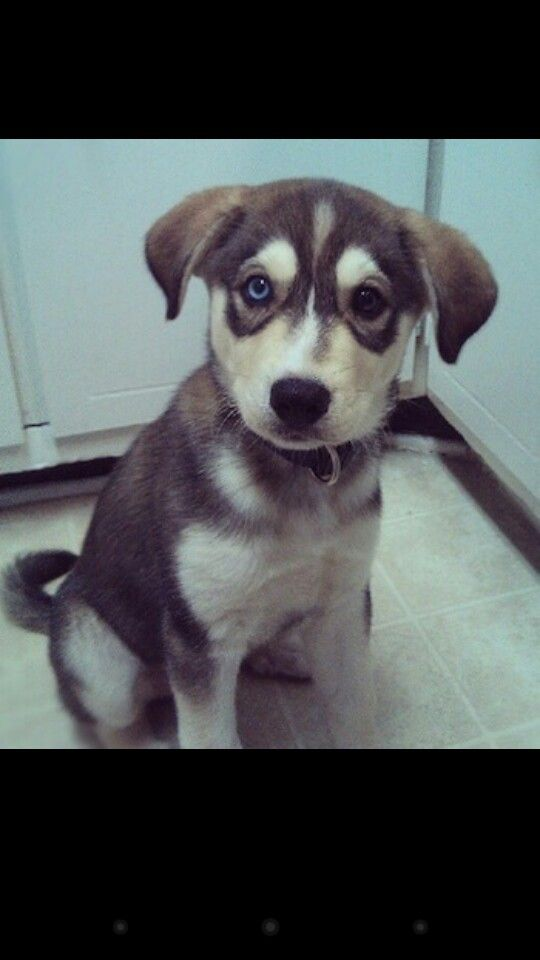 New obsession: husky lab mixes....i want one!!!