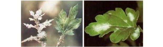 Oidium chrysanthemi (fainarea la crizantema)