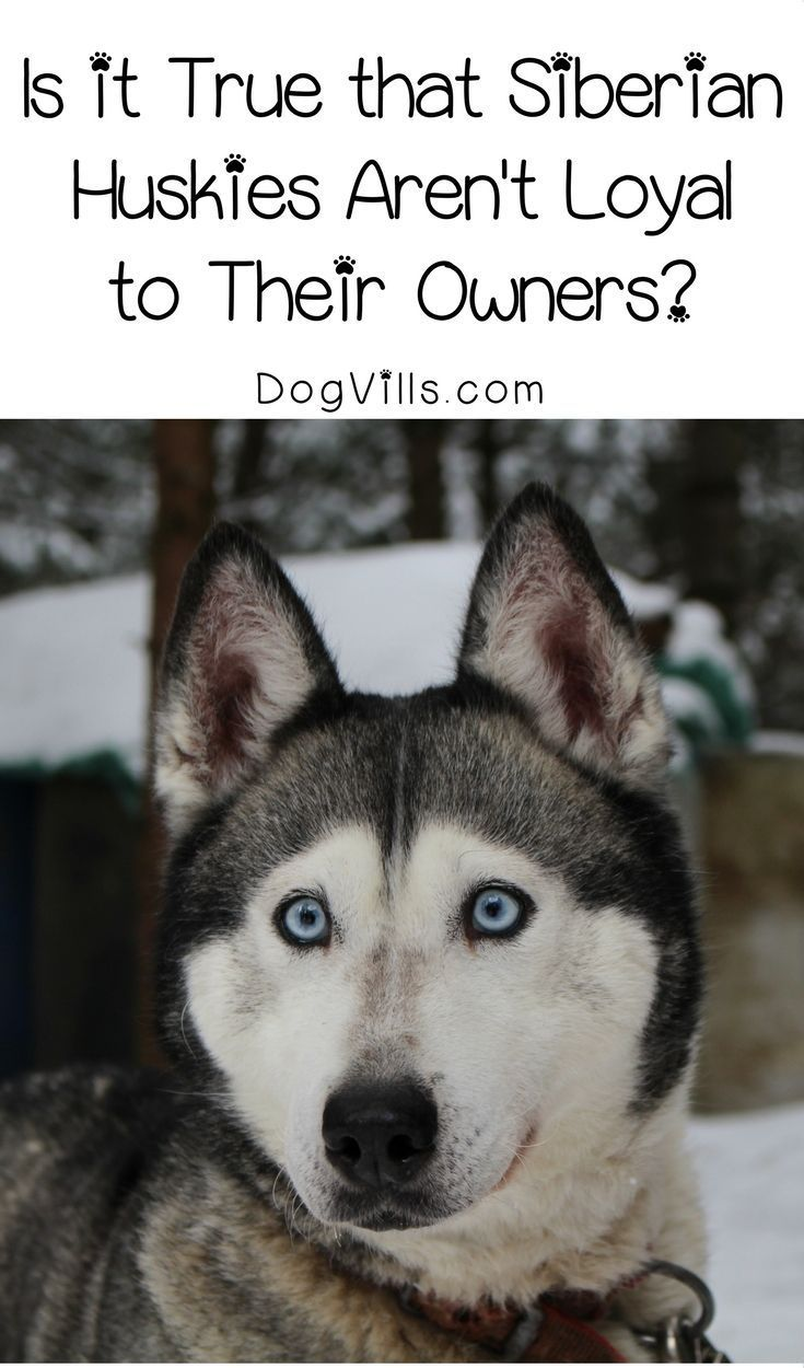 Is It True That Siberian Huskies Aren T Loyal To Their Owners