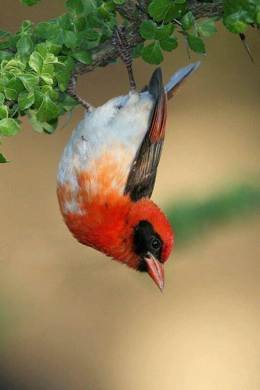 Red-Headed Weaver Bird