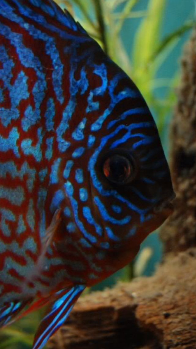 Discus fish blue discus fish pinterest discus for Live discus fish for sale