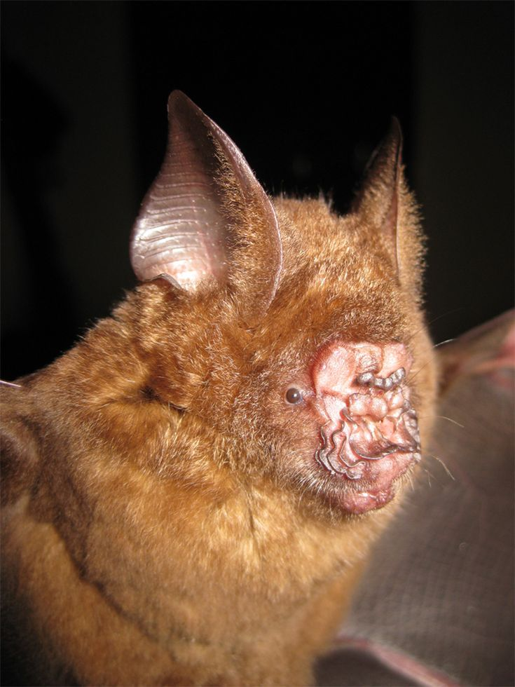 This is Darwin all the way.  A face only a mother could love.  This a griffin leaf- nosed bat whose nose assists it (purportedly) in echolocation (like a dolphin). It was first reported in the Journal of Mammology and this new species was discovered in Viet nam