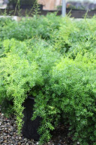 Asparagus densiflorus 'Sprengeri', 2-3' high x wide, part to full shade, regular water