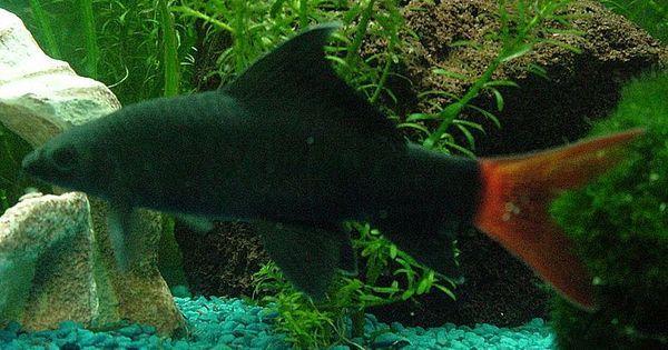 Red Tail Shark Lifespan In 2020 Freshwater Aquarium Fish Cool Fish Tropical Fish