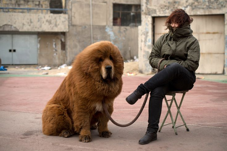A very fluffy adult Tibetan mastiff sits patiently on a leash with its handler during a mastiff show.