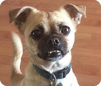 pug mixed with chihuahua 25 best ideas about pug chihuahua mix on pinterest pug 6462