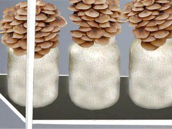Вокруг света: Как самостоятельно выращивать или культивировать грибы опята в домашних условиях. Описание методик и технологий выращивания летних и осенних опят на приусадебном участке на пнях, в теплицах, погребах и в банках на подоконнике