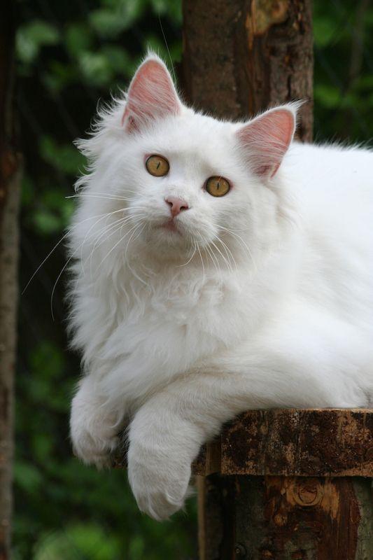 #MaineCoon #White EC. Raguël Angelium Feline Fantasy