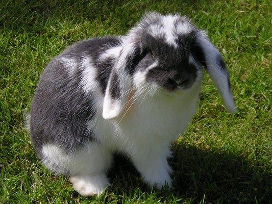 El Conejo enano belier mariposa azul se caracteriza por sus orejas largas y caídas y su carácter extremadamente tranquilo, es un conejo muy dócil.