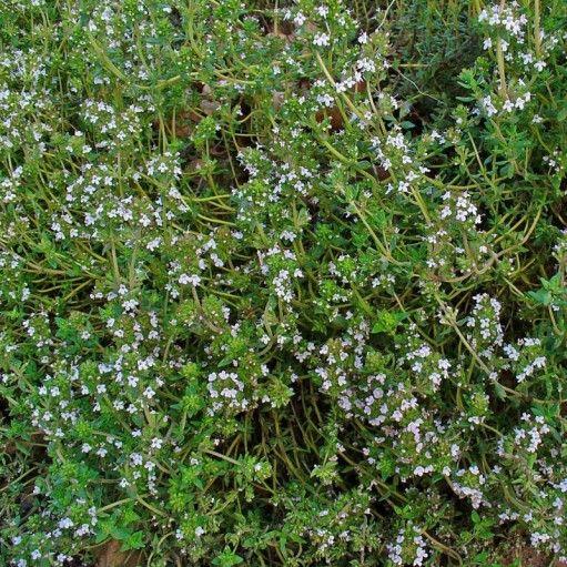 Thymus vulgaris este o planta erbacee cunoscuta sub denumirea de Cimbrisorul de Camp. Este o planta aromatica care face parte din familia Lamiaceae de gen Thymus. A nu se confunda cu Cimbrul. Cimbrisorul creste sub forme de tufe. Frunzele au forma liniara scurte-petiolate. Florile sunt mici, albe sau in nuante de roz, liliachiu.