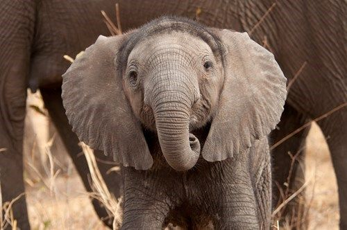 Happy World Elephant Day! Today is the day to celebrate everything we love about those long-nosed land mammals! Do you want to learn more about these amazing behemoths? Head over to visit our friends at The Nature Conservancy to find out how you can help elephants in Africa!   Don't forget to wish your friends a happy World Elephant Day! After all, an elephant never forgets!  http://www.nature.org/ourinitiatives/regions/africa/elephants/index.htm