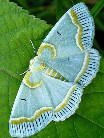 Beautiful aqua moth with gold and white markings