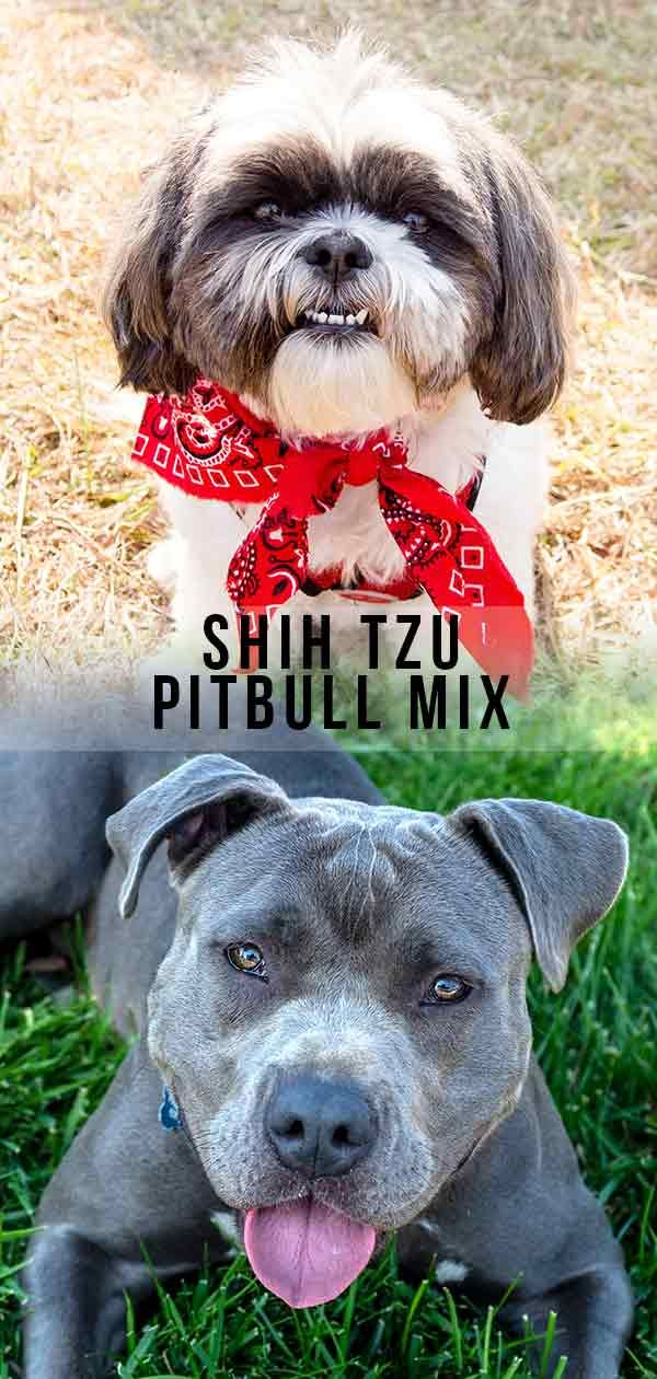 Shih Tzu Pitbull Mix Where Fluffy Lapdog Meets Loyal Companion