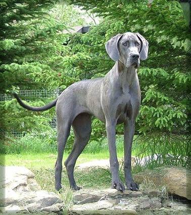Blue Great Dane.  Magnificent & regal dogs.