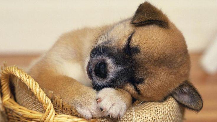 Akinek+kutyája+van,+tudja,+hogy+álmában+fintorog,+mozog,+mormog.+A+kutya+is+álmodik,+mivel+alvásperiódusai+között+ott+van+nála+is,+mint+az+embernél,+a+mélyalvás,+az+álmokat+teremtő+R.E.M.+–+írja+a+La+Stampa. Miről+álmodhat+egy+kutya?+A+Harvard+Medical+School+kutatója,+Deirdre…