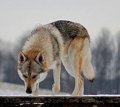 Cão lobo checoslovaco – Wikipédia, a enciclopédia livre