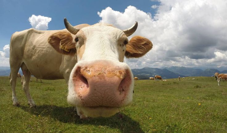 Moo to you, too. Photo taken in Slovenia by Enej Vitrih.