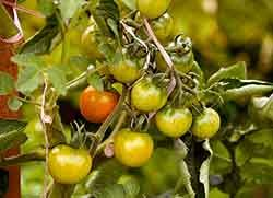 EWG's Dirty Dozen Fruits & Vegetables: How many can you grow in your garden?