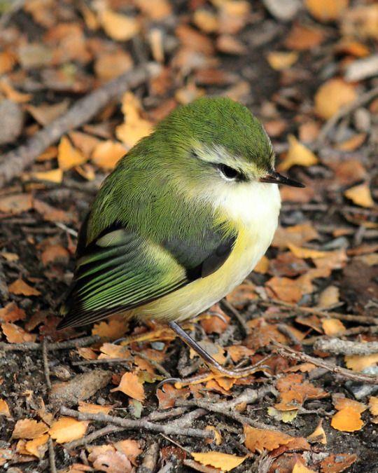 "What a cute little green bird. :) ""Rifleman (Acanthisitta chloris) - photo by 4Crewe"""