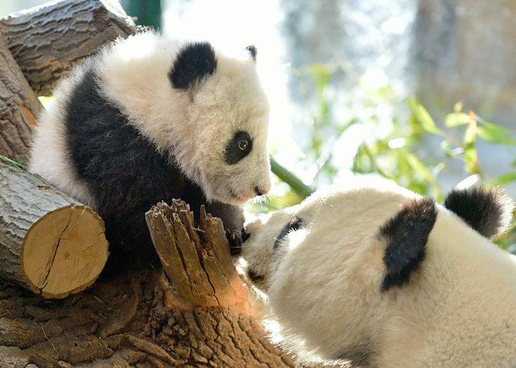 Panda Mom Yang Yang with Panda Boy Fu Bao, 2014, Zoo Vienna