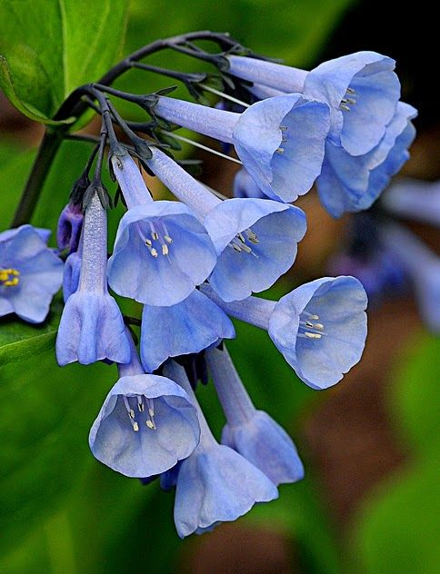 Virginia Bluebells... by Cindy Dyer #flowers