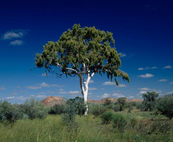 Time line of gum  Gum  Eucalyptus tree Gumtree australia Plants
