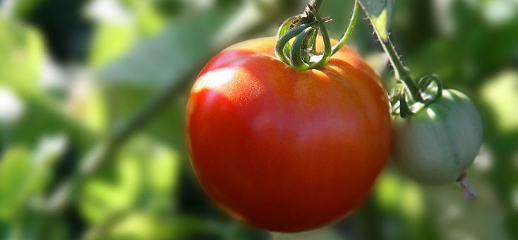 http://Tomato growing made even easier for everyone