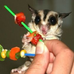 Here's a few ideas on how you can present food to your suger glider
