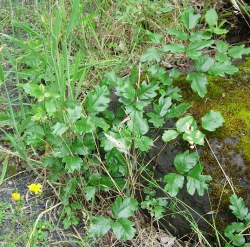 Poison Oak Photos - Is It Poison Oak or Not?: Oak-Shaped Leaves on Poison Oak